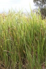 Hyams Grass