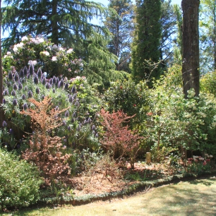 Echium amongst the shrubs