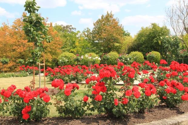 'Glenroy Park' red roses