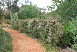 Weeping Grevillea hedge at 'Crundale'