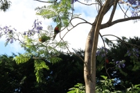 Parakeets in the Jacaranda