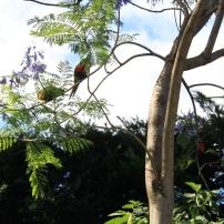 Parakeets in the Jacaranda