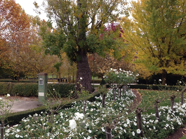 Autumn trees behind the roses