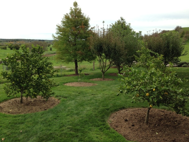 Orchard with mixed fruit trees, including lemons in the foreground
