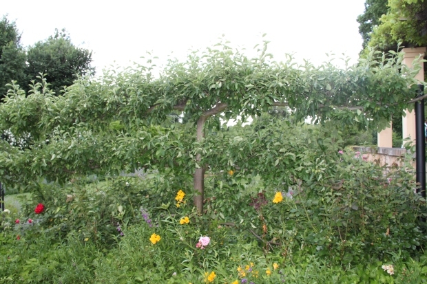 Bowylie espaliered apple trees
