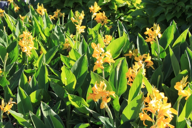 Canna indica - easy to grow, drought tolerant, frost tolerant and a huge range of flower and foliage colours to choose from