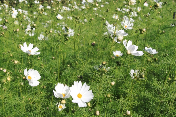 Cosmos (Cosmos bipinnatus) is from Mexico and grows freely in Sydney in a sunny spot.  It comes in a white, pink or red and flowers through summer and autumn