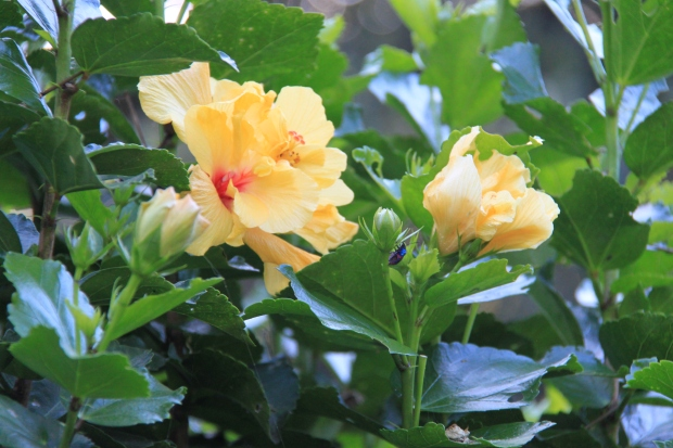 Rose of China (Hibiscus rosa-sinensis) - wonderful lush shrubs in a huge range of colours.  Be sure to tip prune them every year after flowering to keep them leafy and give them plenty of sun