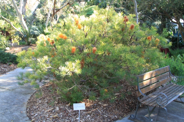 Banksia spinulosa - a very attractive native shrub requiring sun and free draining soil.  Very drought tolerant once established and birds love it