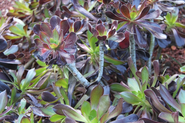 Tree houseleek (Aeonium 'Zwartkop') can add colour and texture to a sunny, well drained bed.  It is one of the easiest plants to propagate - simply cut a head and piece of stem off and stick it in the ground