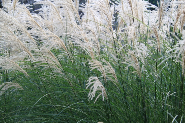 Pampas Grass (Cortaderia selloana) - unfortunately this plant was over used in the 70s and went out of favour, but in a large garden it can look incredible, especially when it catches the light