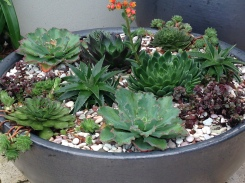 Newly planted bowl of mixed succulents in my garden