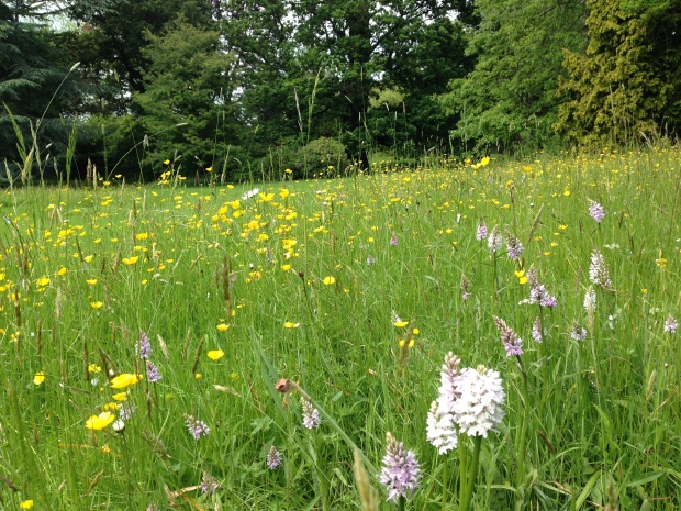 Meadow with native orchids, buttercups and grasses at Woburn Abbey gardens