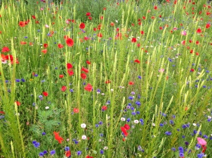 Cambridge University Botanic Garden Meadow