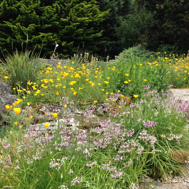 Eschscholtzia, Sisyrinchium and grasses at the Cambridge University Botanic Garden