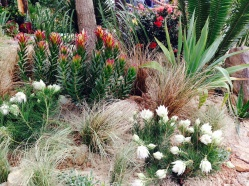 Grasses and leucadendrons popping out from the sand