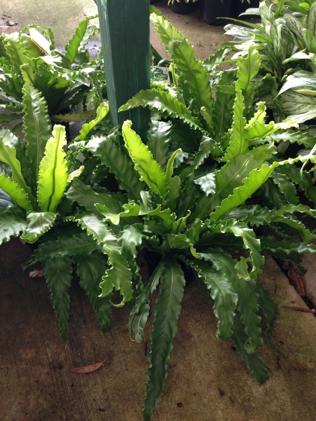 One of many Asplenium cultivars with beautifully textured leaves