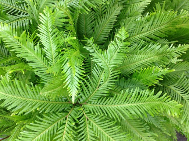 The wonderful texture of ferns