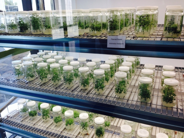 Tissue culture at the Australian PlantBank