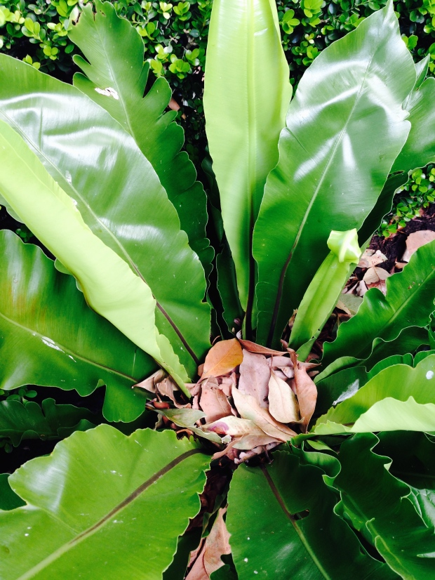 The Bird's Nest fern collects leaves in its crown which it gains nutrients from as they decompose. Here against a neat, Buxus hedge
