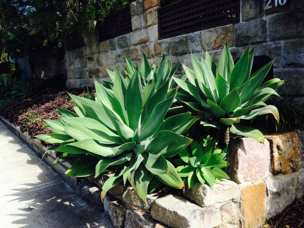 Agave attentuata