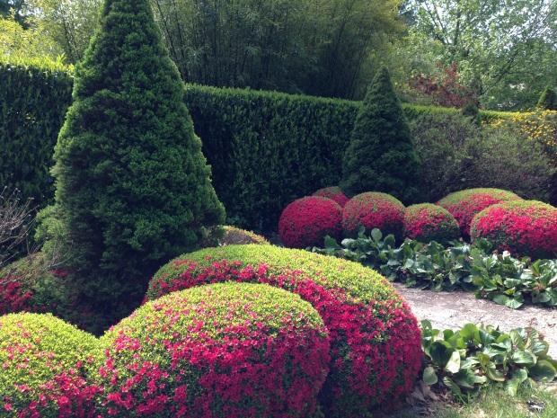 Azalea topiary at Bebeah, Mount Wilson