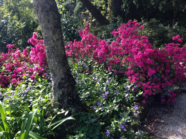 Azaleas and Vinca at Bebeah, Mount Wilson