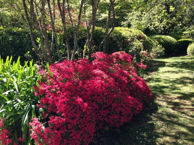 Bright Azaleas at Bebeah Garden in Mount Wilson