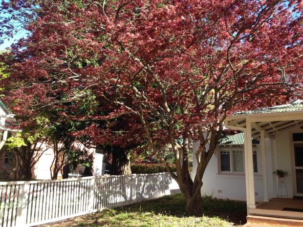 Burgundy-leaved Japanese Maple at Retford Park