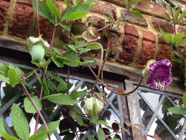 Cobaea vine, from the tropical Americas, climbs around the window frame at Sissinghurst, shown here in three stages of flowering and fruiting