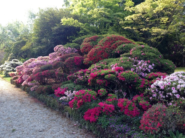 Cloud pruned azaleas at Bebeah, Mount Wilson provide an interesting, unusual look
