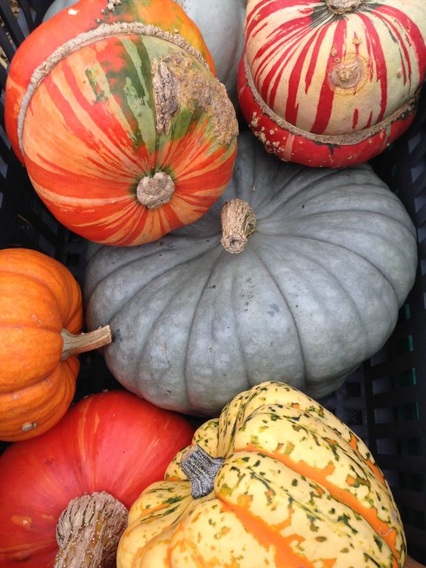 Colourful pumpkins from a Wisley trial