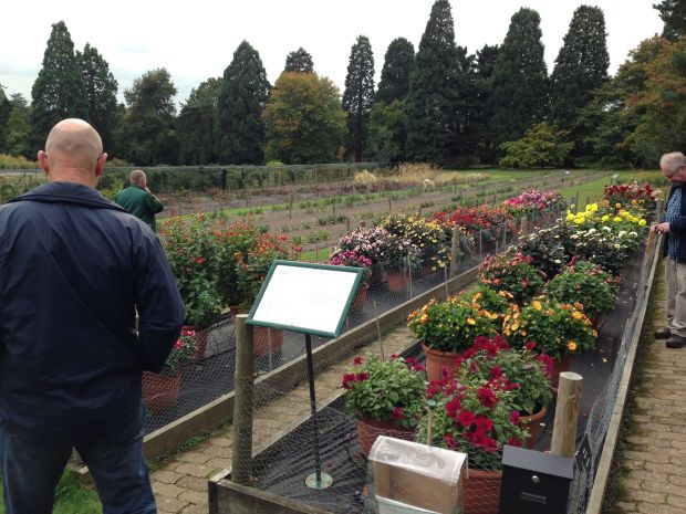 Dahlia Trial at Wisley