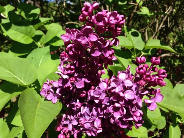 Deep, rich lilac flowers at Bebeah, Mount Wilson