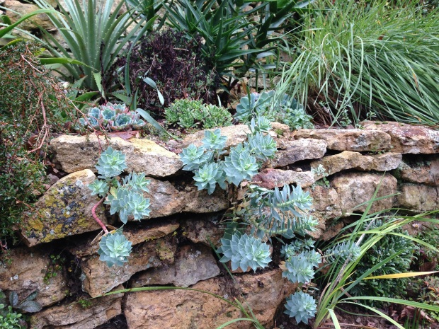 Euphorbia growing in the dry stone wall at Hidcote - the perfect environment for a plant that hates wet feet