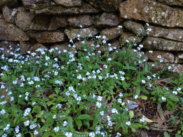 Forget-me-nots in a dry stone wall remind me of England