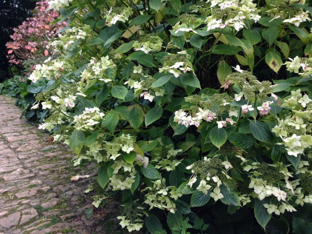 One of a vast number of Hydrangea species and cultivars at Hidcote