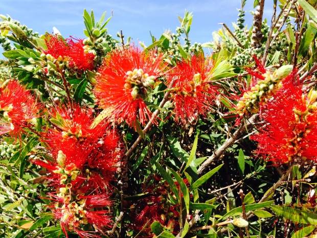 Bottlebrush (Callistemon)