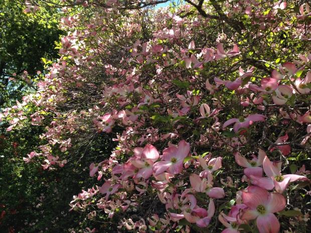 Spring Cornus flowers at Bebeah, Mount Wilson