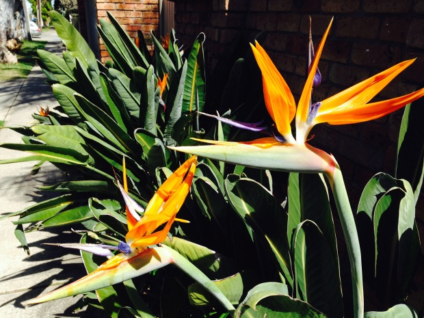 Strelitzia (Bird of Paradise) in Mosman garden
