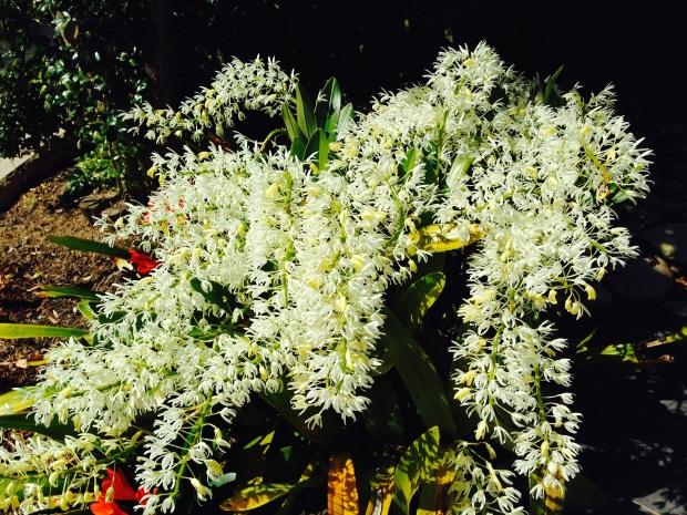 Sydney Rock Orchid in Mosman garden