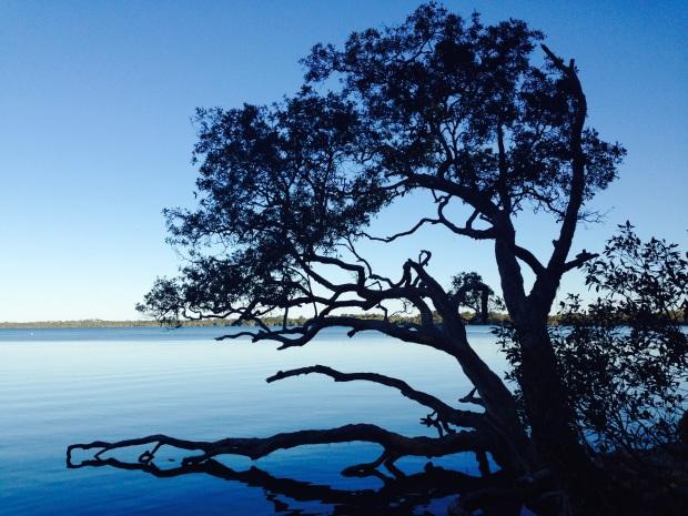 Tree on the edge of Lake Weyba, near Noosa