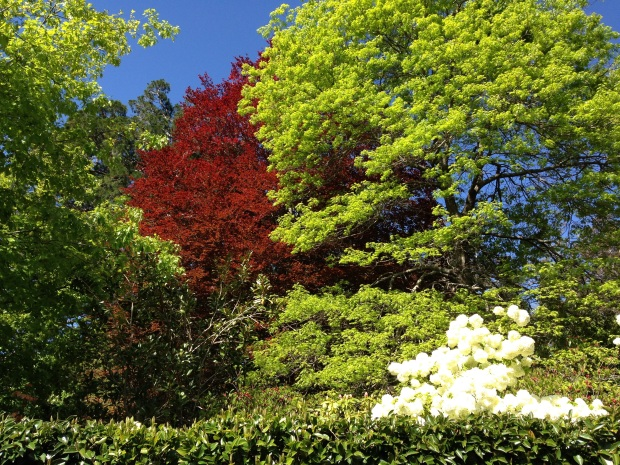 Vibrant tree colours at Bebeah, with white Viburnum flowers in the foreground