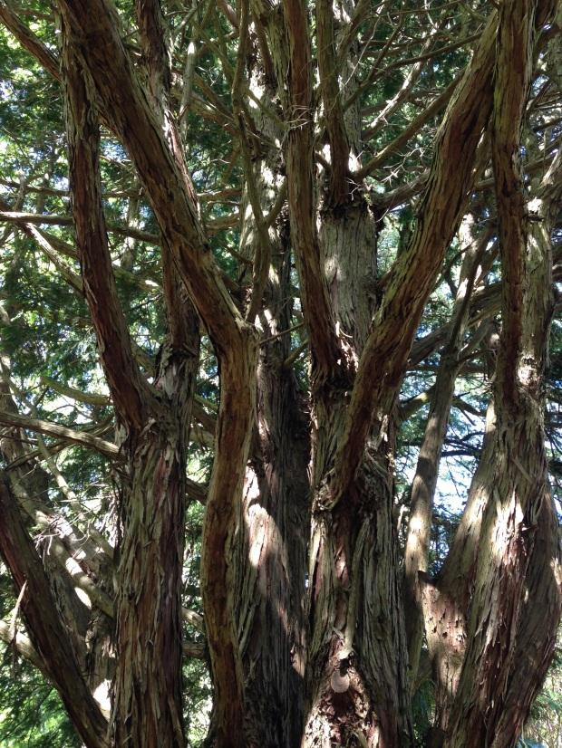 Wonderful bark texture at Bebeah, Mount Wilson