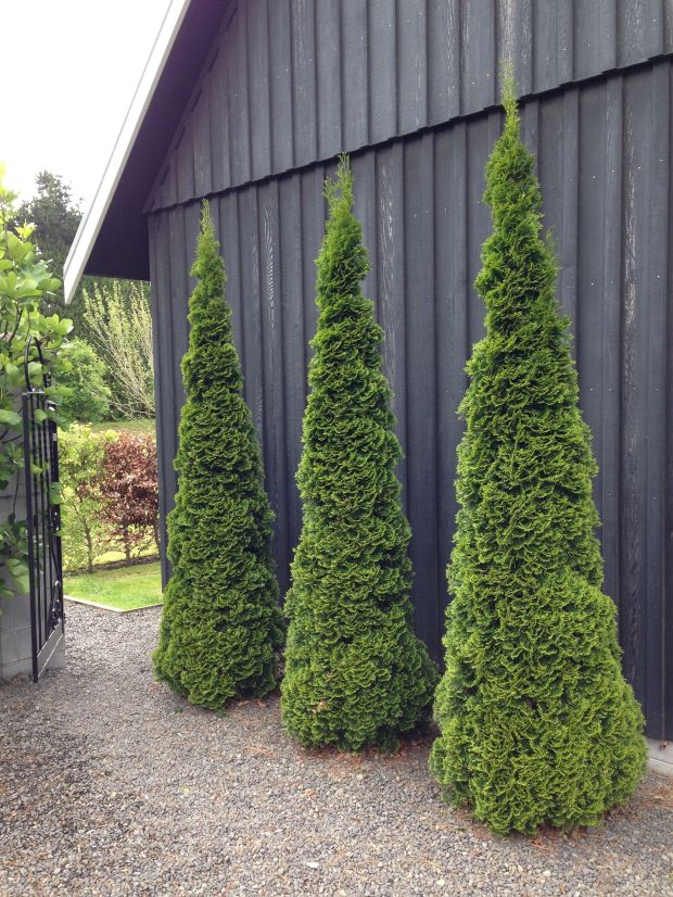 Conifers standing to attention at Gravetye Garden