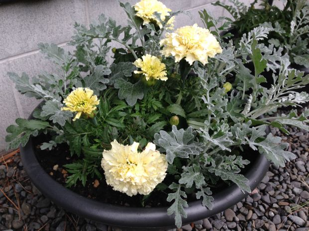 Cute pot of Dianthus, Scabiosa and Senecio at Gravetye Garden