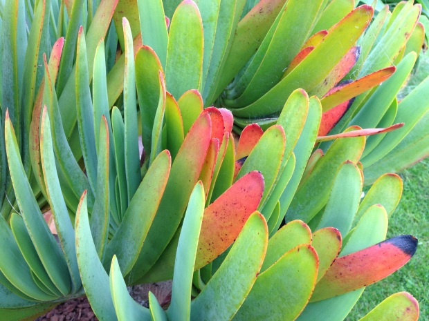 Glowing succulent, Aloe plicatilis, at Puketarata