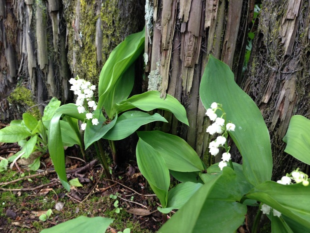 Gorgeous lily-of-the-valley growing through a tree fern fence at Puketarata
