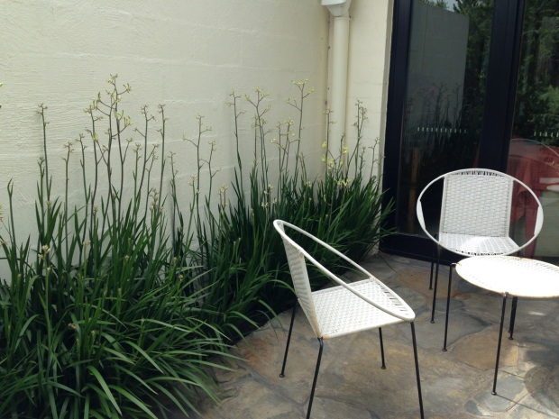 Kangaroo Paws (Anigozanthos) look stunning against this wall