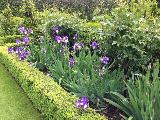 Neat Buxus beds with bearded Iris and roses